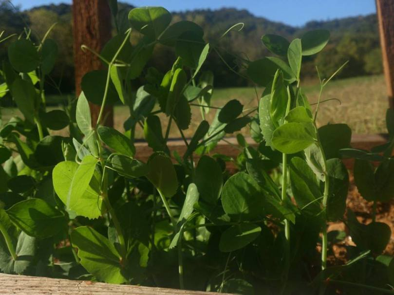 Vertically Challenged Mom Gardening Organic Peas